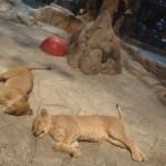 MGM Lions